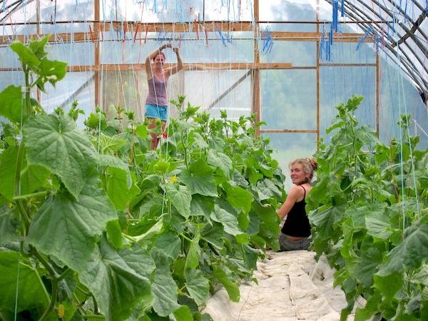 Michele and Natalie trellising cucumbers / Michele et Natalie dans les concombres
